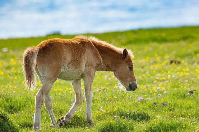 poulain mongolie